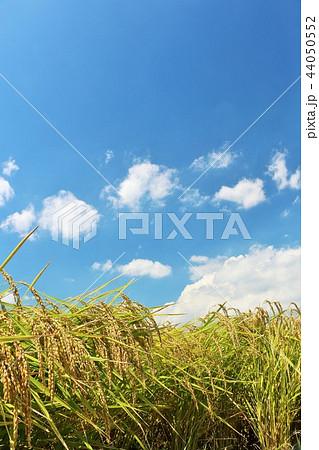 秋の青空と田んぼ 44050552