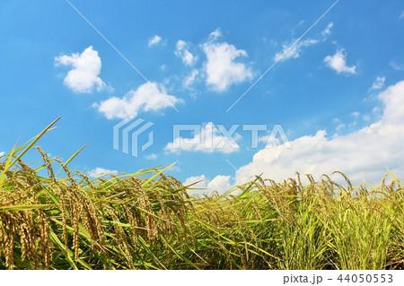 秋の青空と田んぼ 44050553