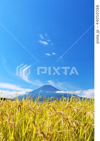 秋晴れの青空と田んぼ そして富士山 44050566
