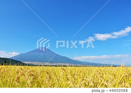 秋晴れの青空と田んぼ そして富士山 44050568