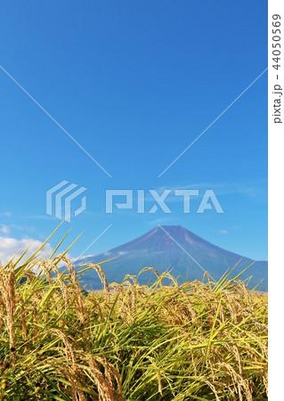 秋晴れの青空と田んぼ そして富士山 44050569