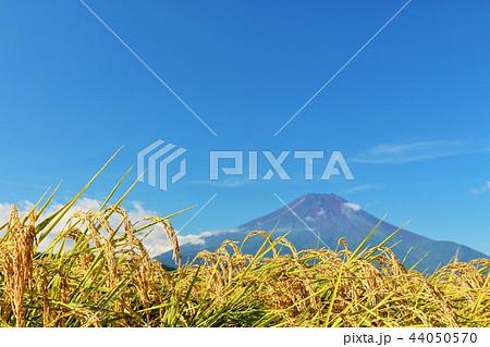 秋晴れの青空と田んぼ そして富士山 44050570