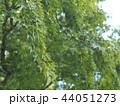 枝垂れる青もみじ 44051273