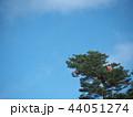 カラフルな風船が絡まる松の木 44051274