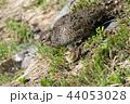 親子 特別天然記念物 鳥の写真 44053028