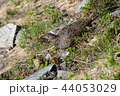 親子 特別天然記念物 鳥の写真 44053029