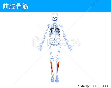 前脛骨筋3 44056111