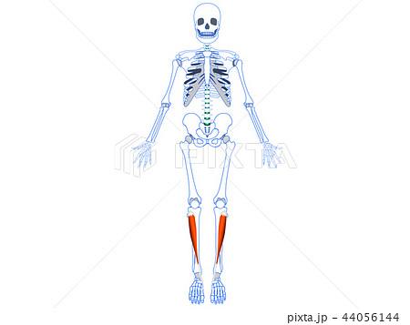 前脛骨筋2 44056144