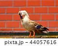 カルガモ 鴨 鳥の写真 44057616