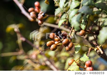 山椒の種(10月) 44060059