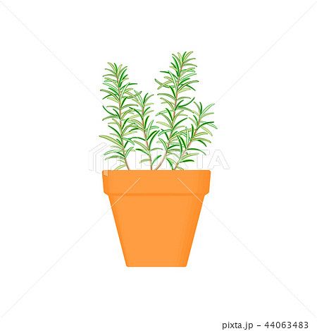 rosemary vector culinary herb in terracotta pot. 44063483