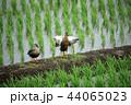 鴨の羽ばたき 44065023