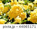 三鷹中原に咲く黄色いモッコウバラ 44065171