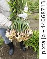 葉生姜の収穫 44068713