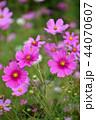 コスモス 秋桜 ピンクの写真 44070607