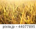 稲穂 稲 植物の写真 44077895