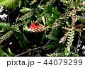 三鷹中原に咲くブラシノキの花 44079299