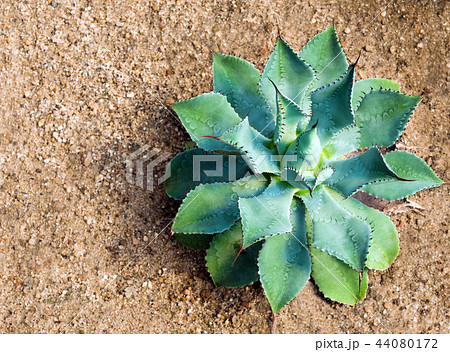 Thorn and detail on leaves of Agave potatorum 44080172