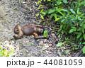 野生の子供オランウータン 44081059