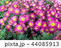 菊科 キク 菊の写真 44085913