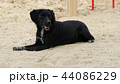 The black old dog lies on the sand in the hot summer. 44086229
