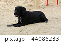 The black old dog lies on the sand in the hot summer. 44086233