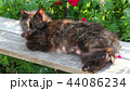 The old fluffy cat lies on a wooden bench in the street. Pregnant nursing cat close-up. 44086234