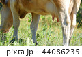 The cow chews the green grass on the meadow. Dairy farm cow. 44086235