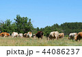 A large herd of cows grazes on the green grass by the forest. Agriculture and livestock. 44086237