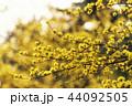 花 アキサンゴ ハルコガネバナの写真 44092505