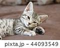 マンチカンの子猫 44093549