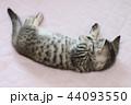 マンチカンの子猫 44093550