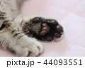 マンチカンの子猫の肉球 44093551