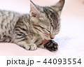マンチカンの子猫の毛づくろい 44093554