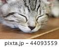 マンチカンの子猫 44093559