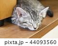 マンチカンの子猫 44093560