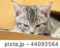 マンチカンの子猫 44093564