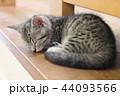 マンチカンの子猫の昼寝 44093566