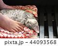 マンチカンの子猫 44093568
