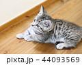 マンチカンの子猫 44093569