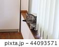 マンチカンの子猫 44093571
