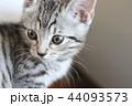 マンチカンの子猫 44093573