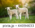赤ちゃん 動物 ひつじの写真 44094633
