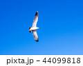 カモメ 44099818