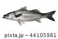 すずき 魚 白バックのイラスト 44105981