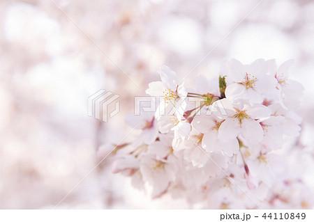 桜 満開 春イメージ 44110849