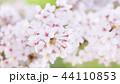 桜 花 満開の写真 44110853