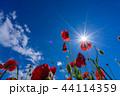 【埼玉】天空のポピー 埼玉の有名スポット 44114359