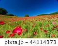 【埼玉】天空のポピー 埼玉の有名スポット 44114373