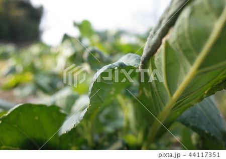 新鮮な草、野菜のクローズアップ 44117351
